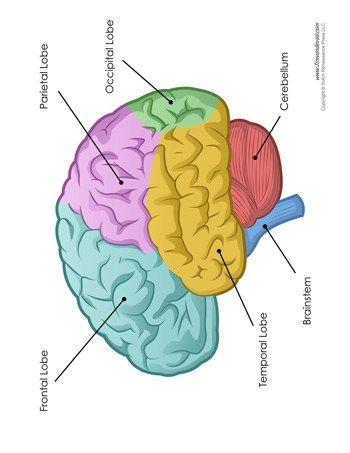 Brain Diagram - Labeled - Color   Brain diagram, Diagram ...