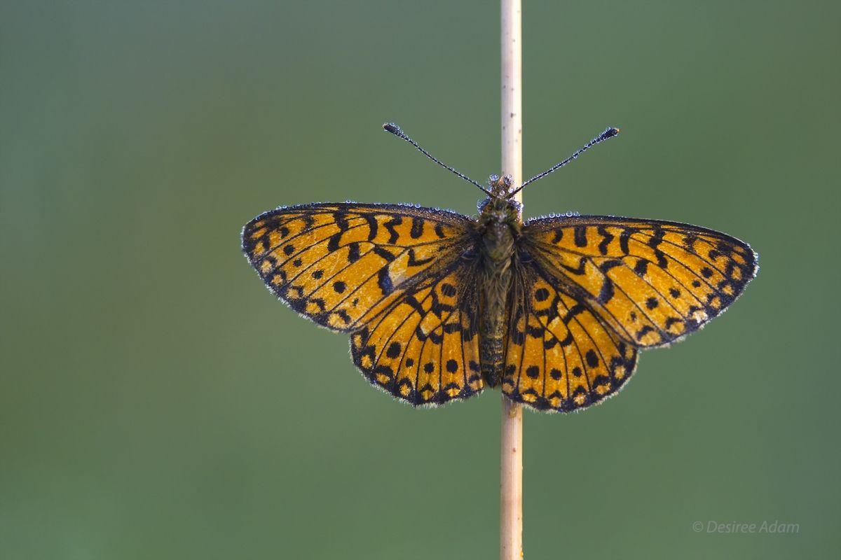 Zilverenmaan Vlinder  (Van vroegevogels)