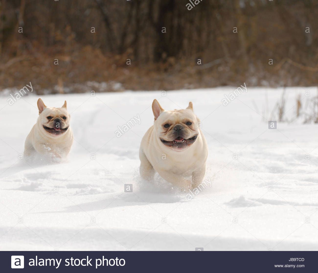 Download This Stock Image Dogs In Winter Two French Bulldog