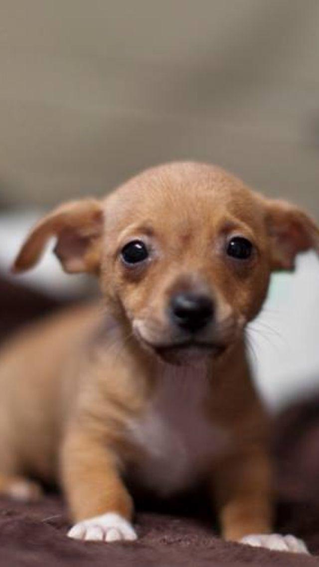 Chiweenie Chiweenie Puppies Chiweenie Dogs Cute Dogs