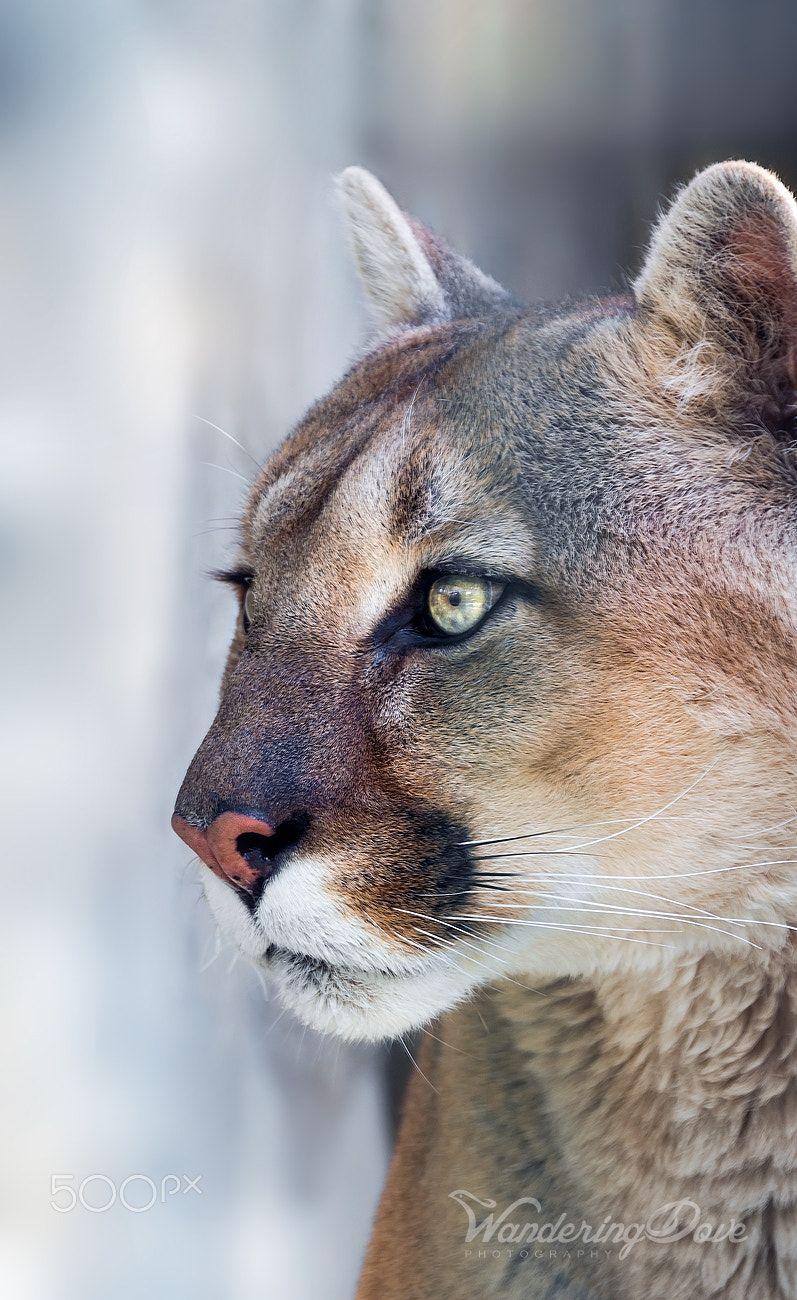on alert  close up portrait of the mountain lion
