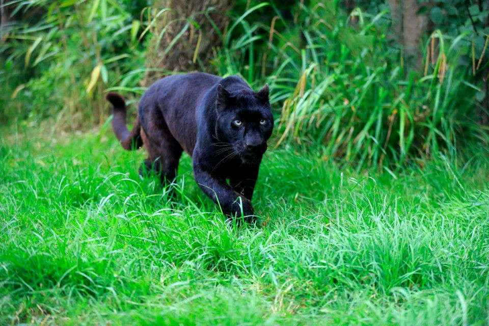 What is the Wildcat of Warwickshire and how many other big