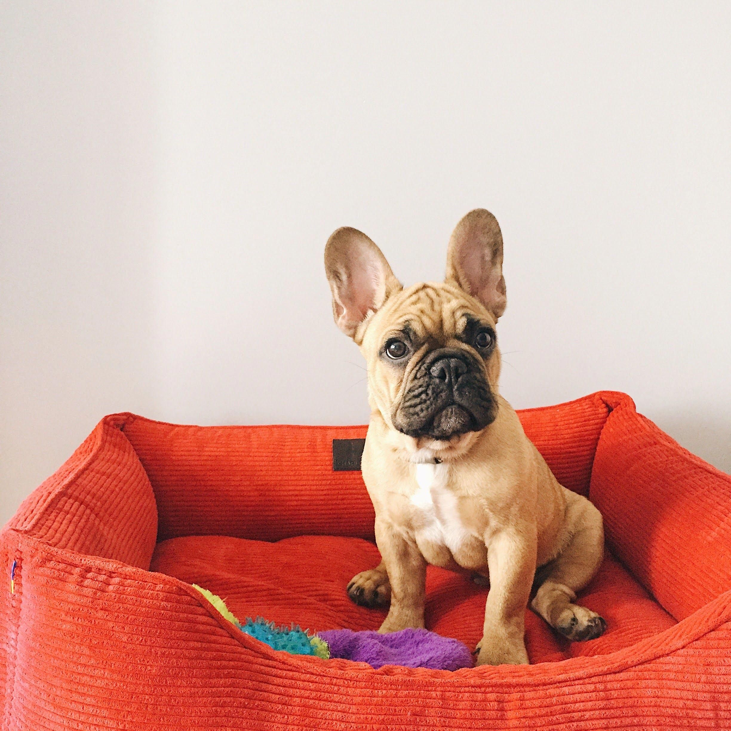 Pin By Hailey Dean On My Puppy Fawn French Bulldog French