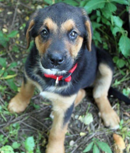 Lab Bernese Mountain Dog German Shepherd Mix Puppy Puppies
