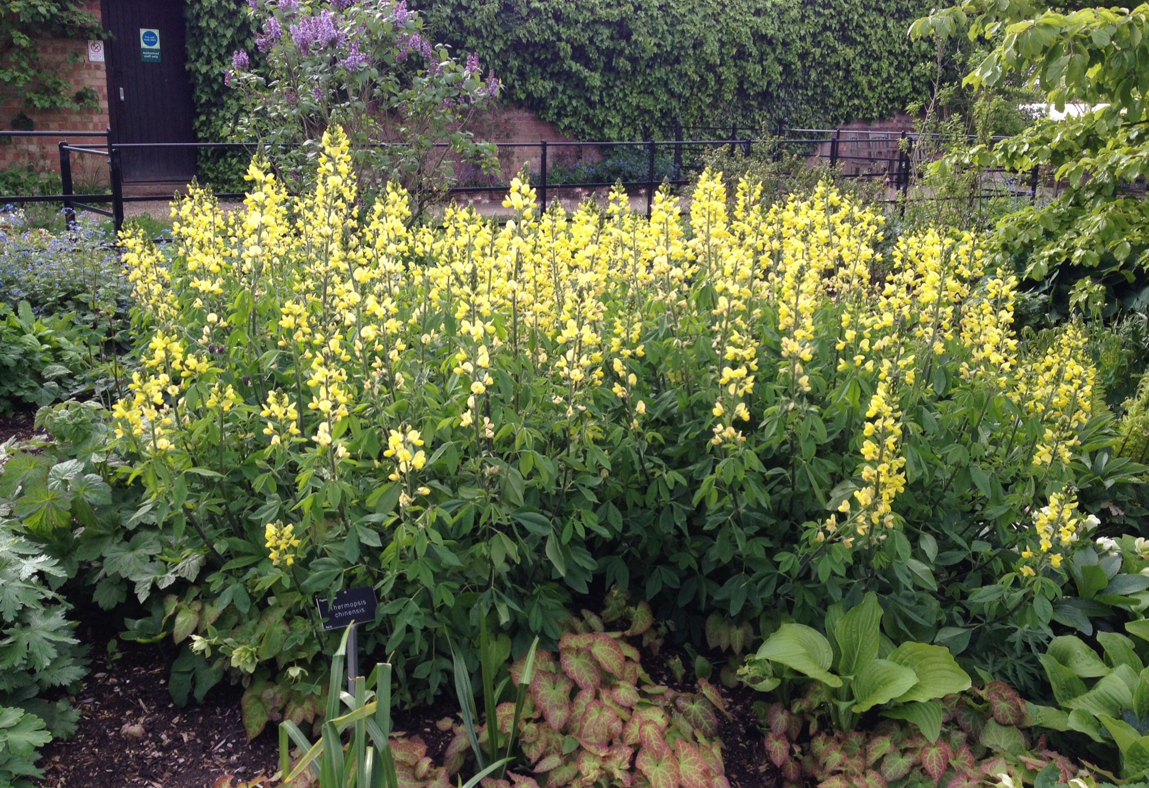 Thermopsis Chinensis Large Plant Hardy Full Sun Spring To