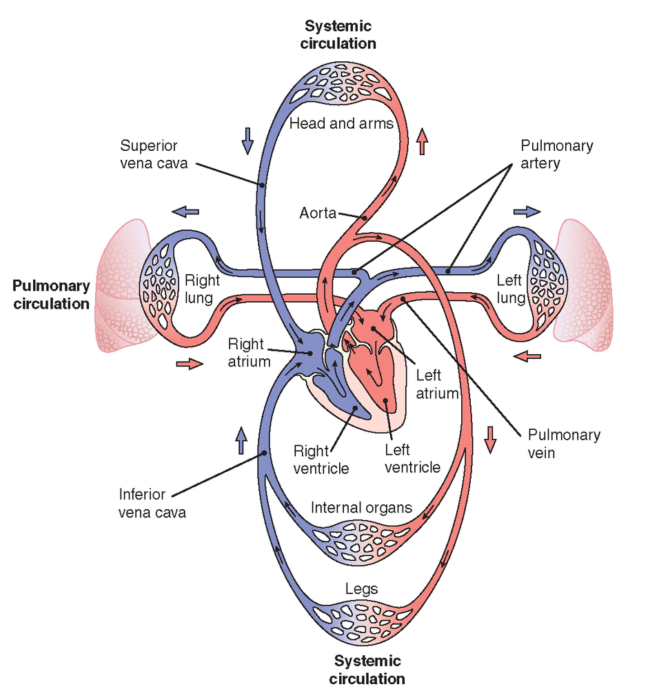 Pulmonary And Systemic Circulation Concept Map.Pin By Kahum On Anatomy Pinterest Circulatory System Lymphatic