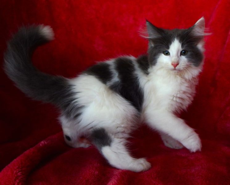 NORWEGIAN FOREST KITTENS, REG'D, DESEXED ETC READY NOW