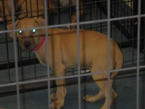 Inverness, FL English Bulldog. Meet Groot a Pet for