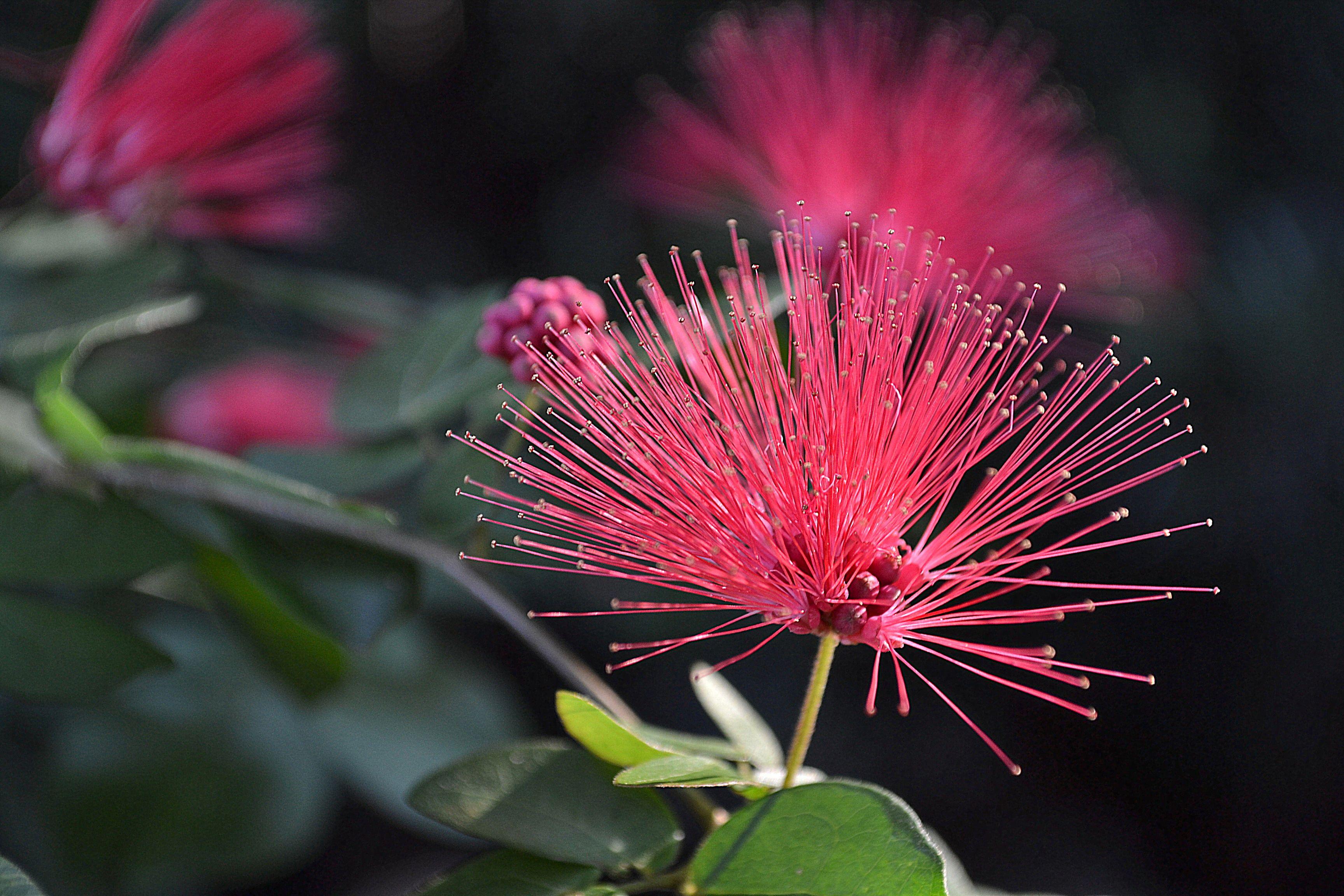 Red Powderpuff 'Nana' Calliandra haematocephala Little