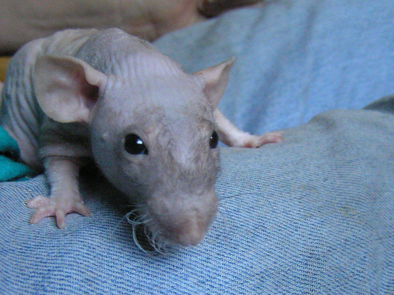 поэтому крыса дабл рекс фото исполнительный кожаный