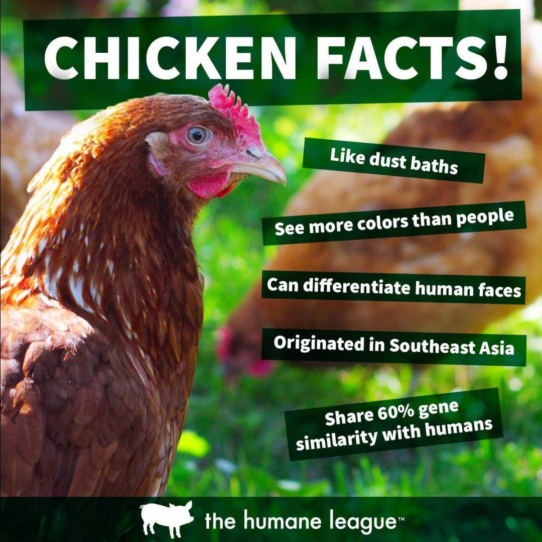 Image of: Infographic Chicken Facts Cute Goats Animal Facts Vegan Life Vegan Vegetarian Animal Dairy Council Of Utah Nevada Pin By Maggie On Be Their Voice Animals Animal Facts Vegan