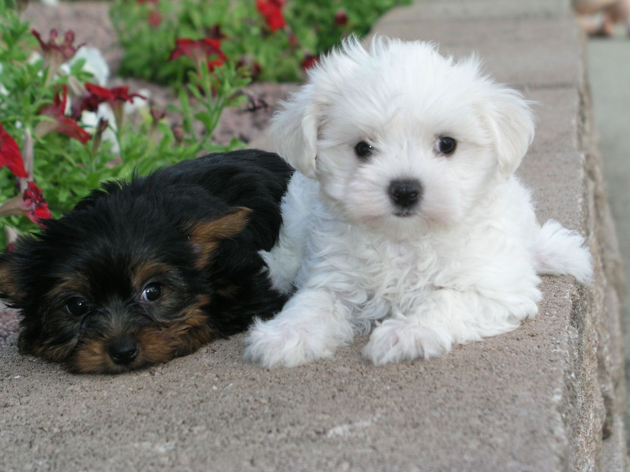 Shih Tzu Puppy Photos Shih Tzu Puppy Puppy Photos Puppies