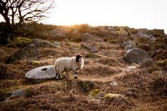 Sheep and Millstone- Suprise View, Peak District, UK
