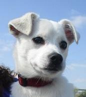 Adopt Oliver On Pitbull Terrier Animal Shelter Dogs