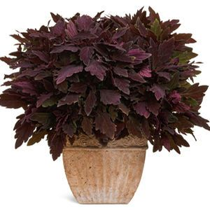 Buy Solenostemon ColorBlaze Marooned Annuals Online. Garden Crossings Online Garden Center offers a large selection of Solenostemon Plants. Shop our Online Annual catalog today.
