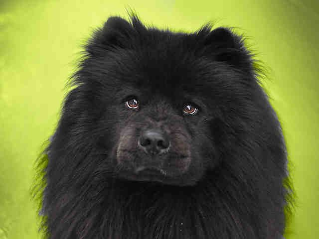 Meet Onyx A Petfinder Adoptable Chow Chow Dog Denver Co
