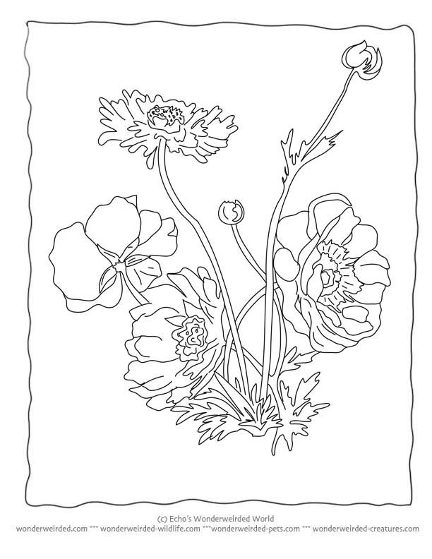 Flower Coloring Sheets Anemone Wonderweirded Wildlife Free Printable Pages
