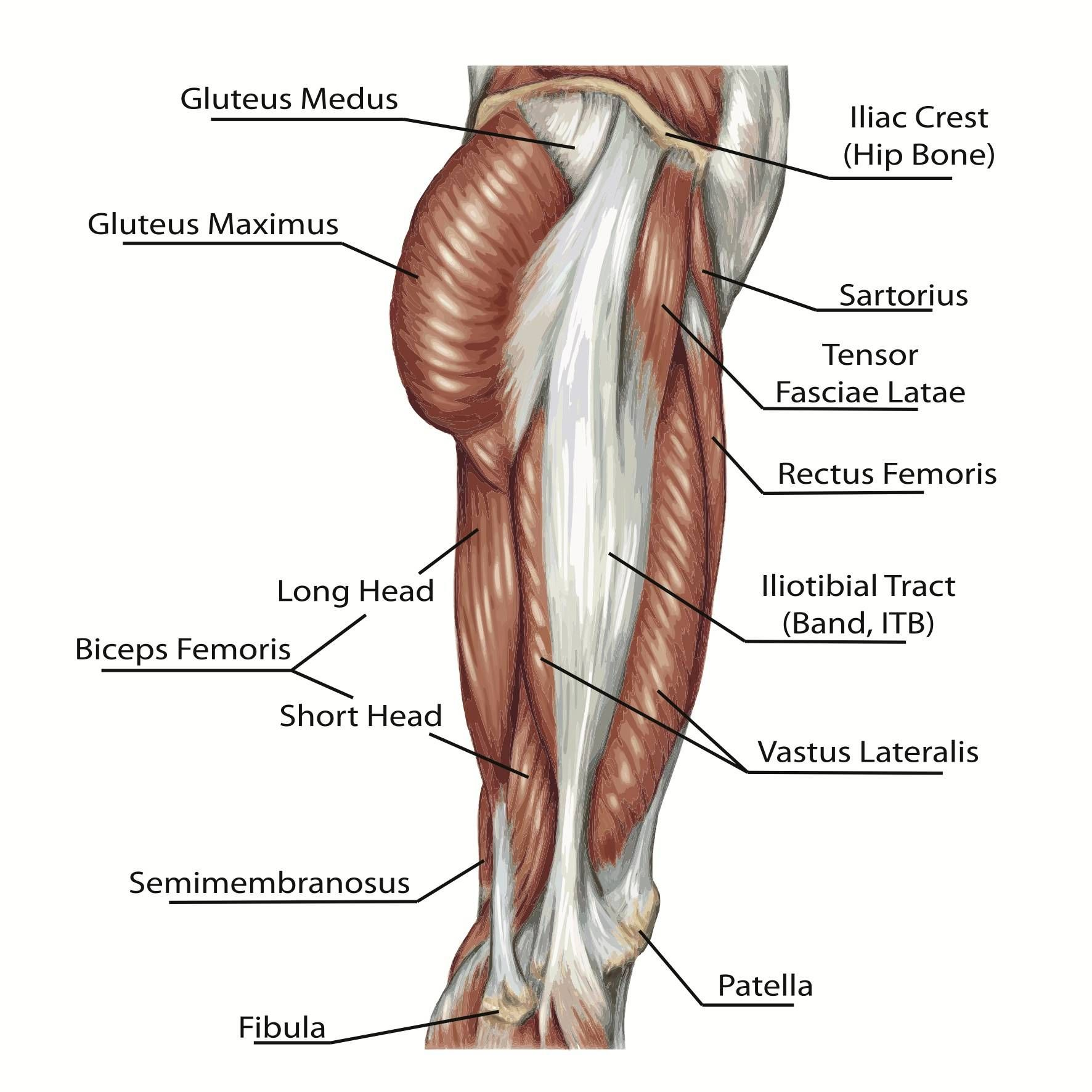 Two Jointed Muscles Of The Lower Body What They Are And How To