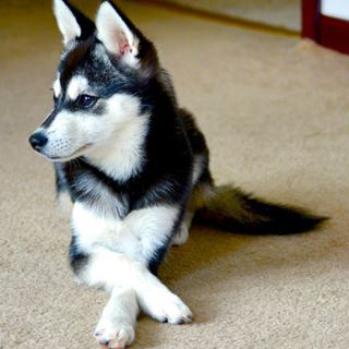 Or they can sit there with their paws crossed like proper little gentlemen. | 17 Reasons Alaskan Klee Kais Are The Absolute Cutest