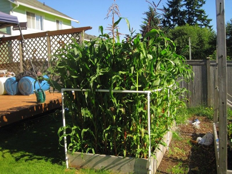 Square foot method sweet corn (I'm growing Bodacious from ...
