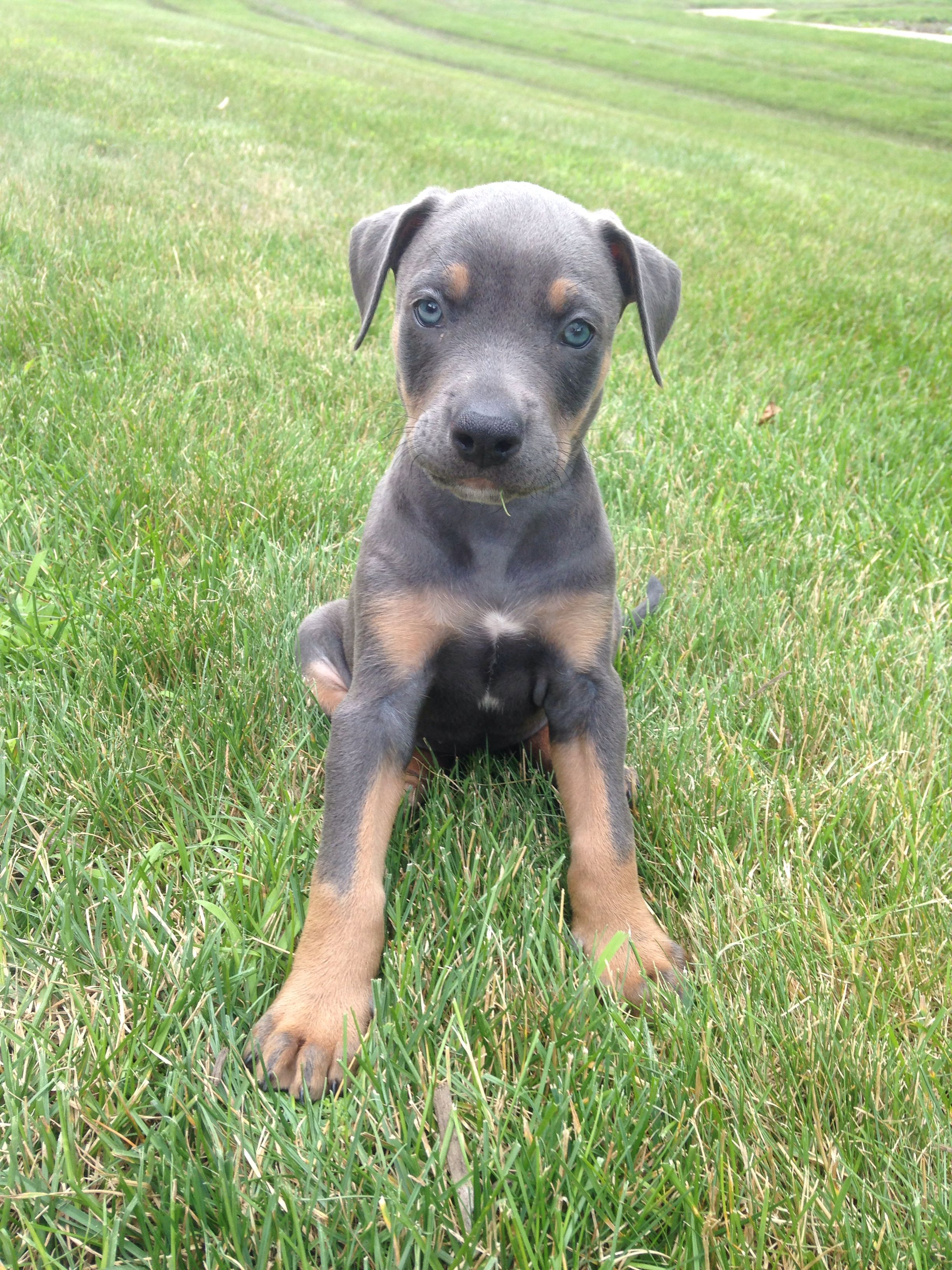 Pictures of doberman pitbull mix