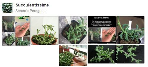 Tableau Pinterest Senecio Peregrinus Dolphin Succulent Senecio - Japan is going mad over these tiny succulents that look like bunny ears