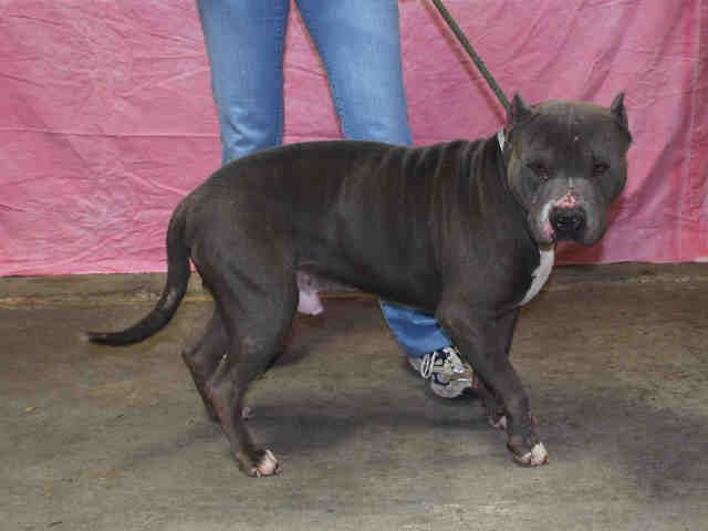 Staffordshire Bull Terrier Dog For Adoption In Louisville Ky Adn