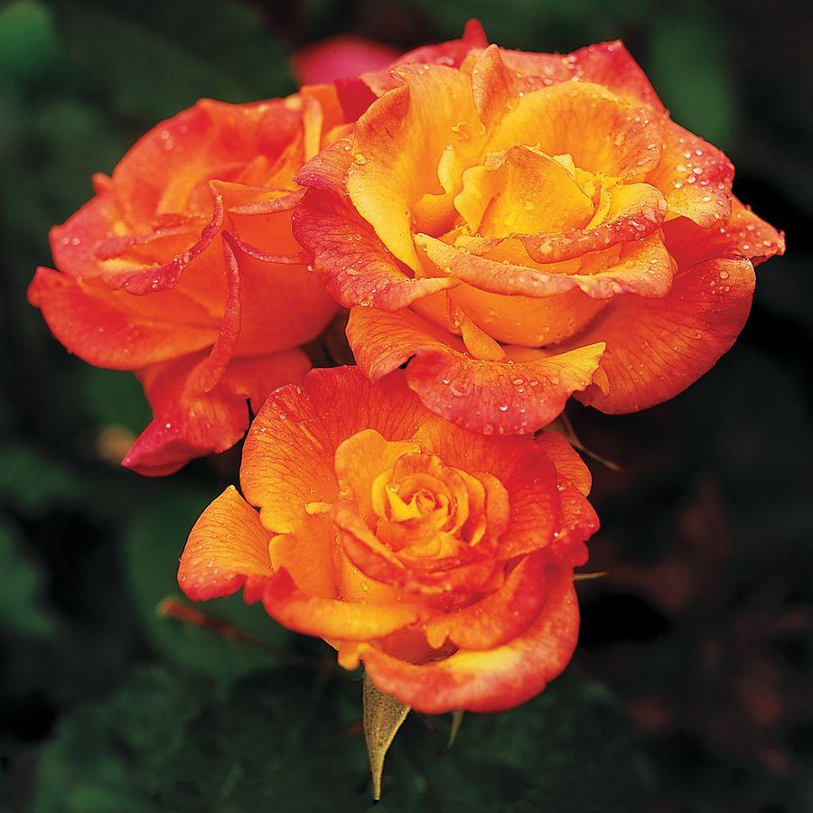 Rio Samba™ Hybrid Tea Rose   Jackson and Perkins Bareroot Roses