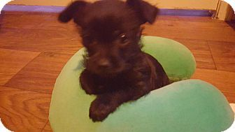 Vancouver Bc Cairn Terrier Terrier Unknown Type Small Mix