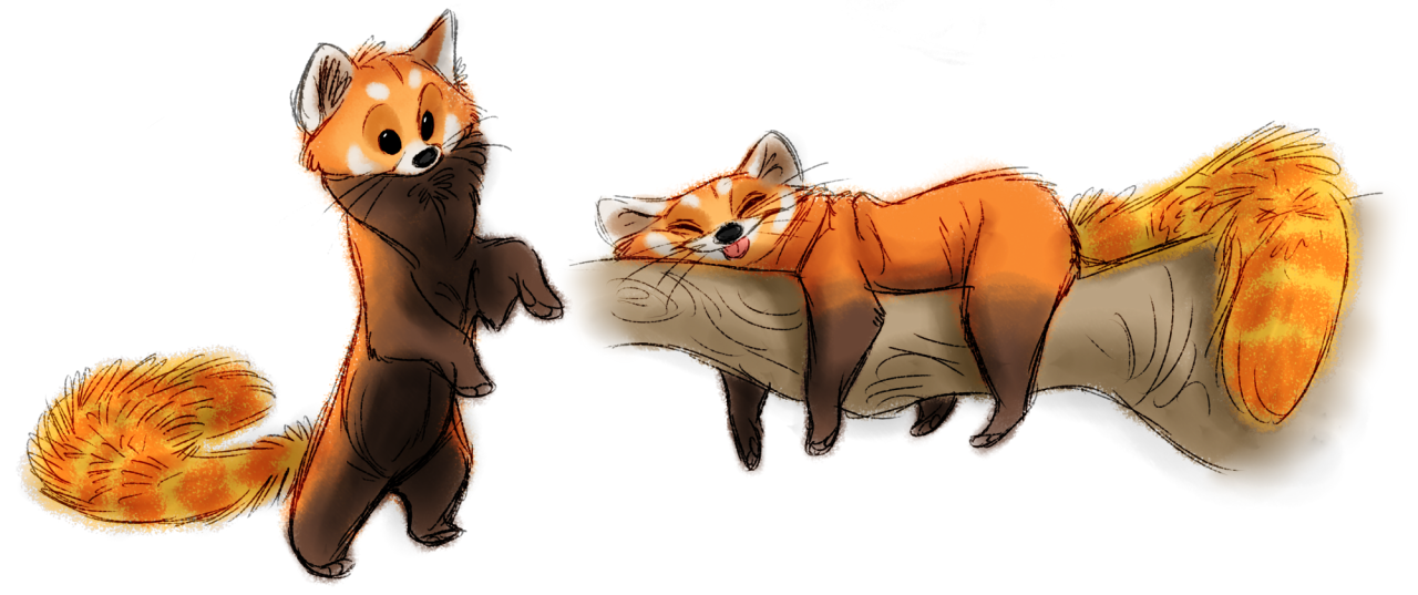 Red panda warm ups from this morning art of andrew - Panda roux dessin ...