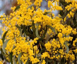 Acacia pycnantha - Occurs in the open forest on the laterite in exposed conditions at Anglesea