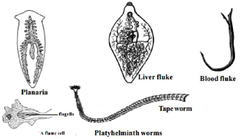 platyhelminthes tip coelom