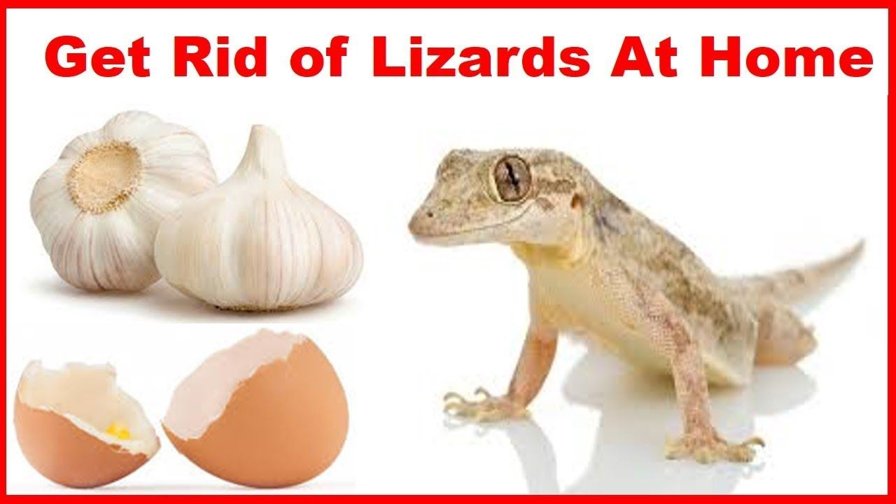 How To Get Rid Of Lizard Permanently Naturally- At Home ...