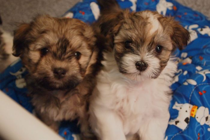 Pin By Colleen On Dogs Havanese Puppies For Sale Havanese Puppies Friendly Dog Breeds