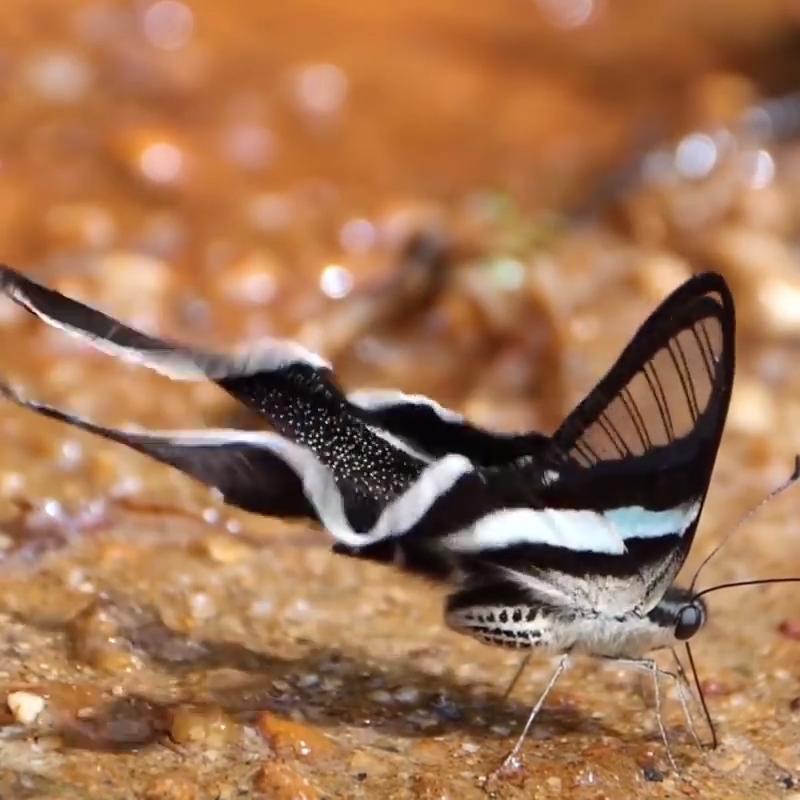 Float Like a Dragontail Butterfly… #butterflies