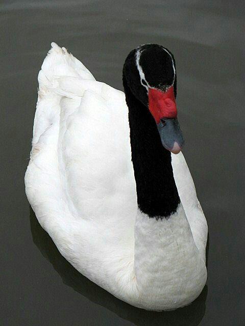 17 mejores ideas sobre Cisne Cuello Blanco en Pinterest : Pavo ...
