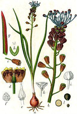 Leopoldia Comosa Flora Traubenhyazinthe Abbildungen