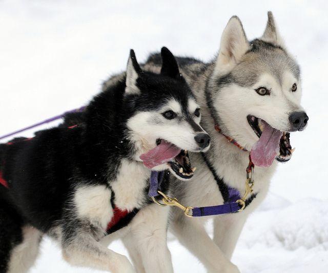 Arden Grange Siberian Husky Club Of Gb Aviemore Sled Dog Rally