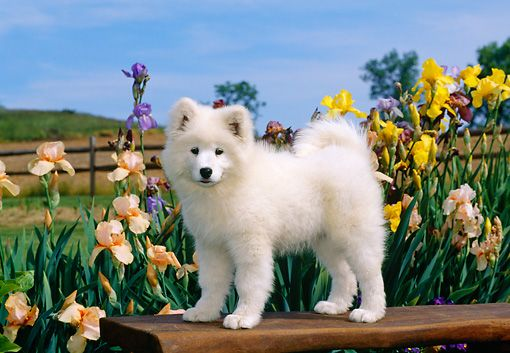 Pup 33 Ce0002 01 C Kimball Stock Samoyed Puppy Standing On Bench