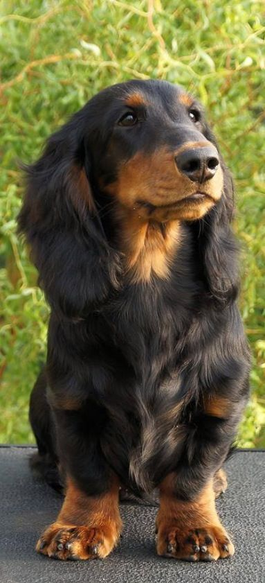 Pin By Kathy Kennett On Dachshunds Puppies Cute Puppies Dachshund Puppies