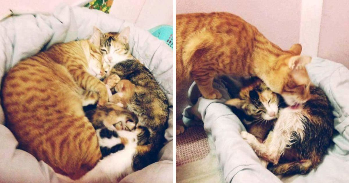 Father Cat Supports Mom Cat Giving Birth Wins Everyone S Hearts Newborn Kittens Cat Mom Kitten Care