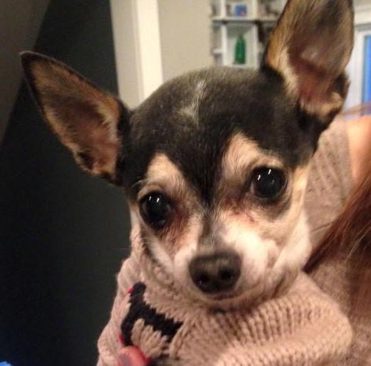 Adopt Pinocchio On Petfinder Adoption Chihuahua Chihuahua Mix
