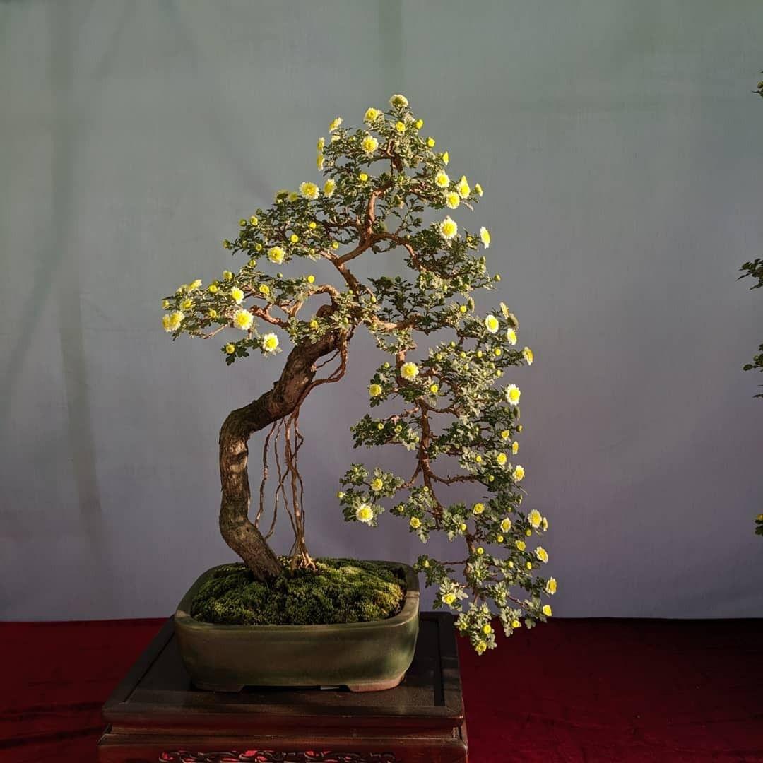 Chrysanthemum Bunjae Chrysanthemum Bonsai Plants