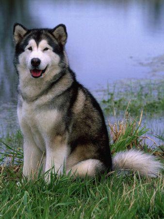 Alaskan Malamute Free Dog Training Tips Http Tipsfordogs Info