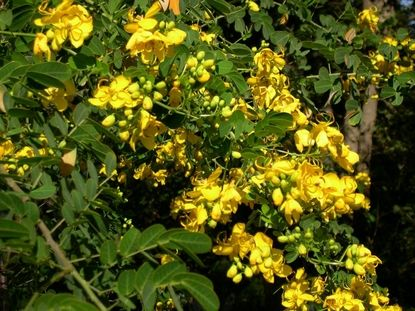 Florida flowering trees identification cassia senna surattensis florida flowering trees identification cassia senna surattensis the cassia tree is a fast growing tree with mightylinksfo