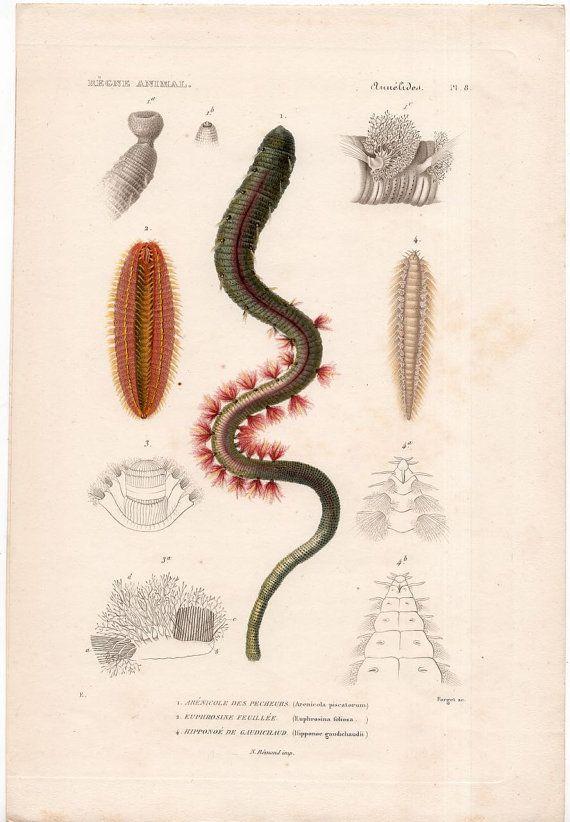 1812 Antique Coral Engraving Original Antique Ocean Marine Fauna