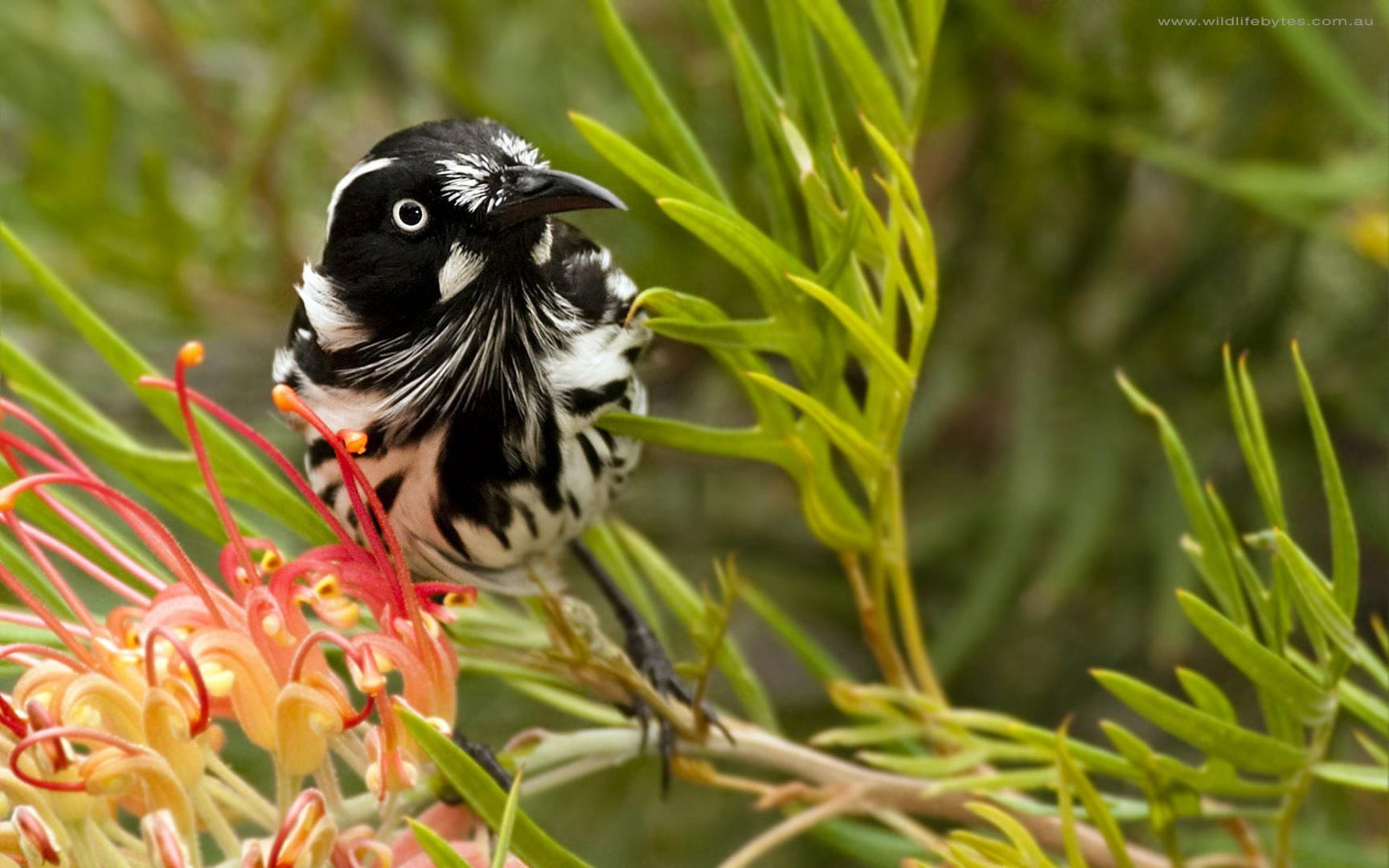 Honeyeater The Honeyeaters Are A Large Family Of Small To Medium