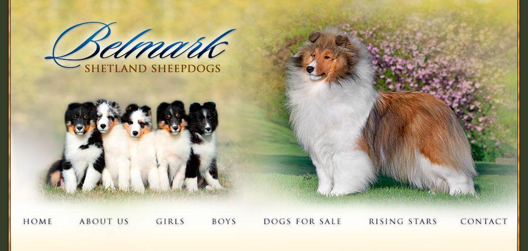 Northwest Ohio 45 Mins North Of Dayton 1 Hr From Columbus Belmark Shelties Breeder Of Sheltie Puppies Adults For Sale Ch Dog Breeder Sheltie Puppy Puppies
