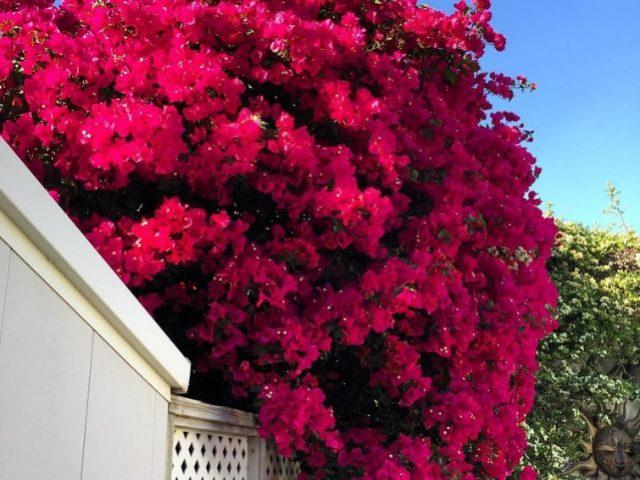 Cómo podar la buganvilla para máxima floración | Buganvilla, Buganvilla  maceta, Cultivo de plantas