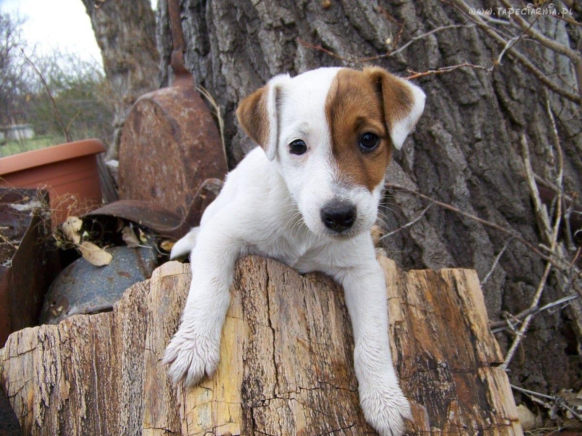 Jack Russell Terrier Jack russell terrier puppies, Jack